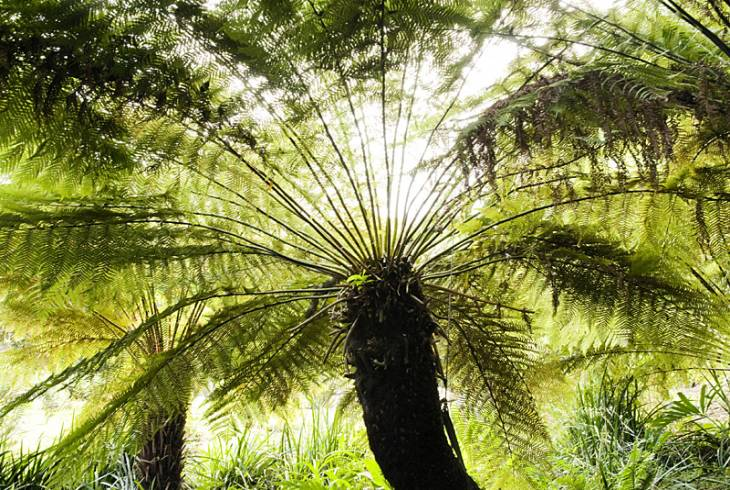 Giant Cycad, Kirstenbosch National Botanical Gardens, Cape Town