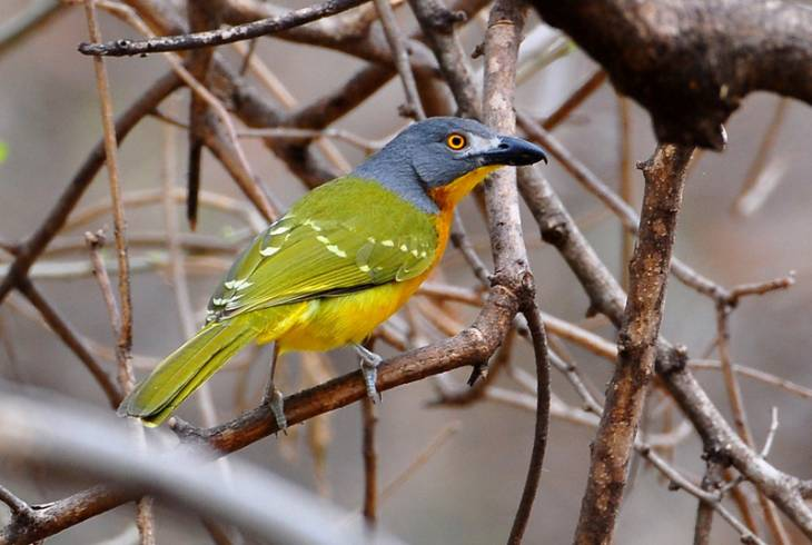 Grey-headed Bushshrike (Malaconotus blanchoti)