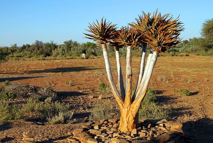 Kokerboom or otherwise referred to as Quiver tree
