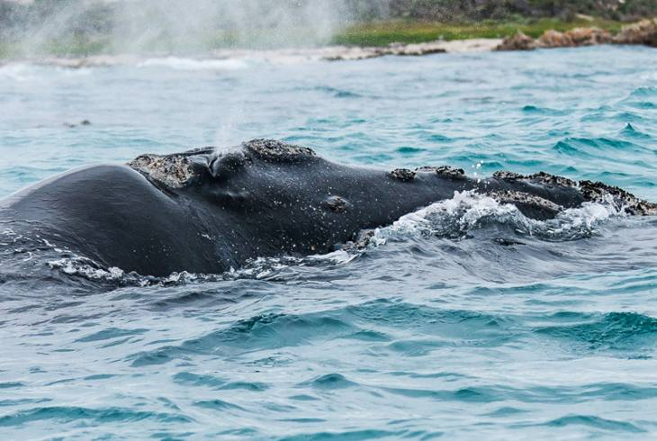 Southern Right whale spotted at De Kelders
