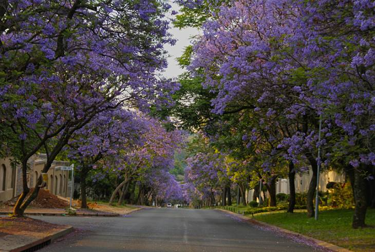 Jacaranda trees supply colour in abundance. Although not indigenous, it has become synonymous with Pretoria and hence the name, The Jacaranda City.