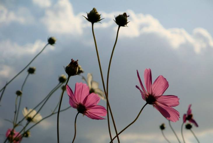 Wild Cosmos flowers, from the Vanderbijlpark area,