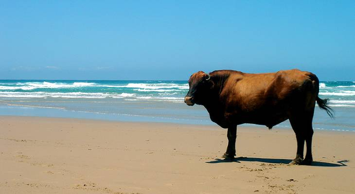 Cow on the beach in Coffee Bay