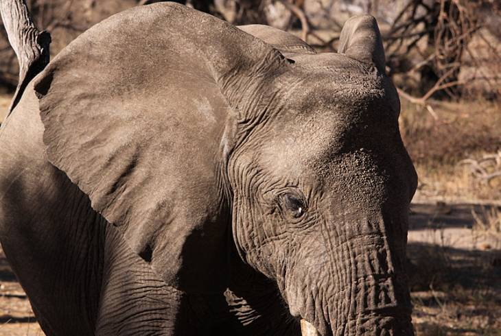 African Elephant, Loxodonta africana - up close and personal in Mapungubwe National Park, Soutpansberg