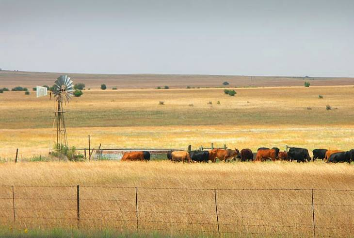 Typical scene of cattle outside of Memel, Free State