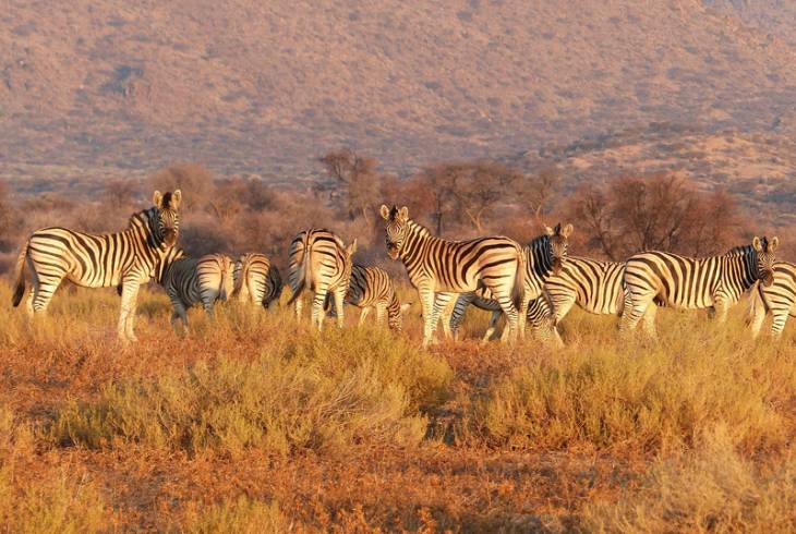 Zebra enjoying the late afternoon sun at one of the many reserves outside Bela-Bela