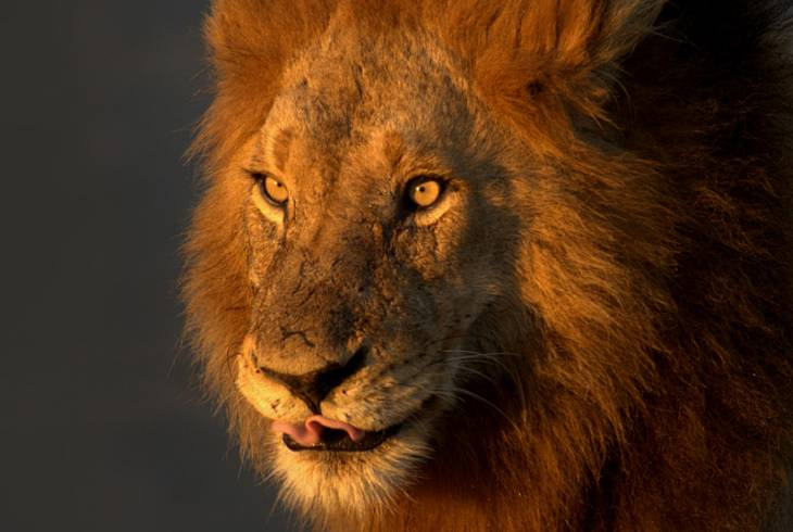 One of the exquisite lions that call the Kruger National Park their home