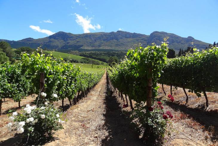 Vineyard in Constantia
