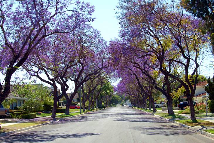 Pretoria is popularly known as The Jacaranda City due to the enormous number of Jacaranda trees planted as street trees and in parks and gardens