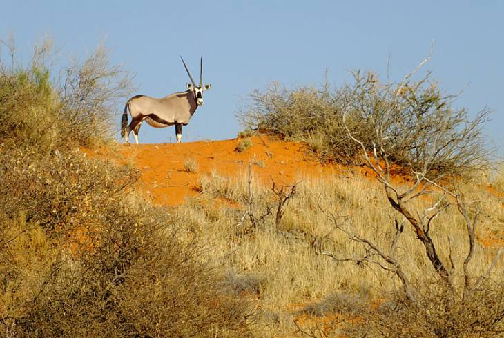 Majestic Oryx at the Bagatelle Kalahari Game Ranch, Mariental
