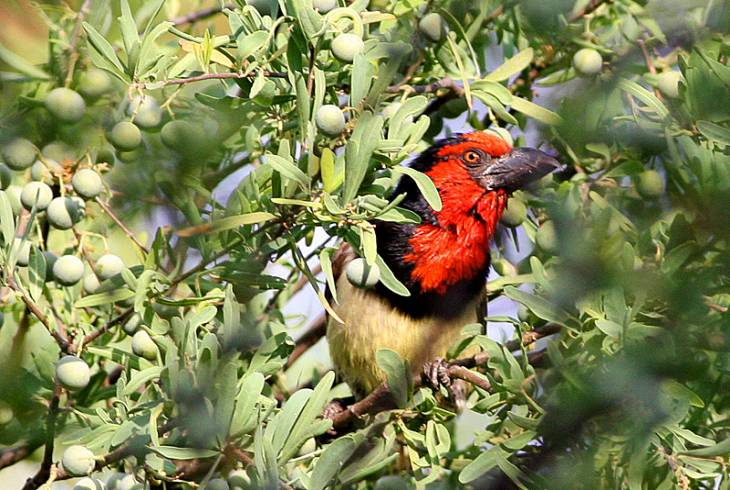 Rundu on the banks of the Okavango River, is blessed with prolific birdlife. <br />This is the Black-collared Barbet (Lybius torquatus)