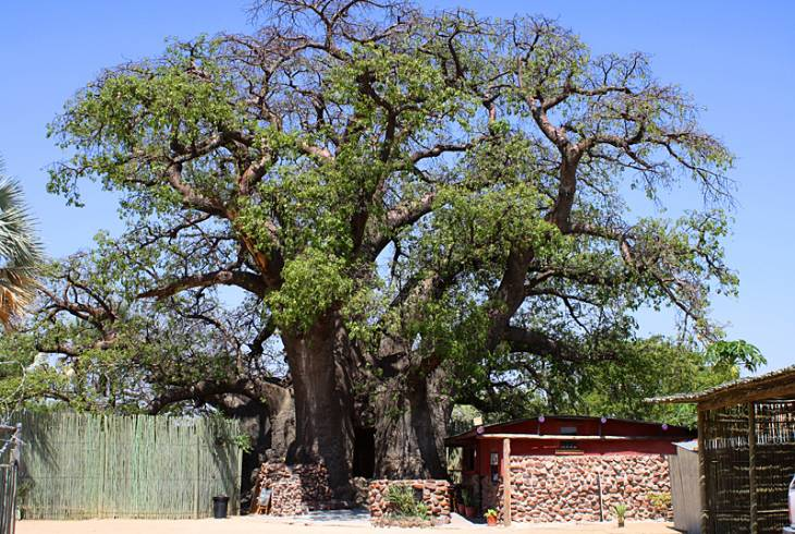 The Ombalantu Baobab tree, an Adansonia species, in Outapi, Omusati